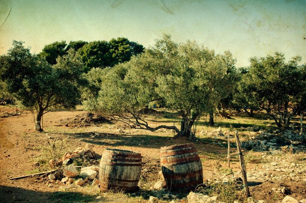 Olive Tree in Apulia