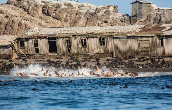 25. Kuril Adalarından terkedilmiş Tulenyi Adasının sahilinde bir fok balığı kolonisi.