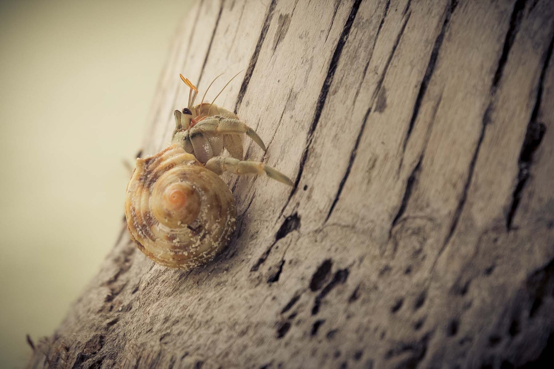 tree climbing hermit crab
