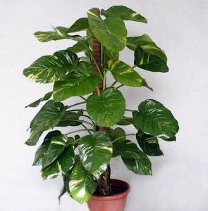 Indoor plants - Money Plant