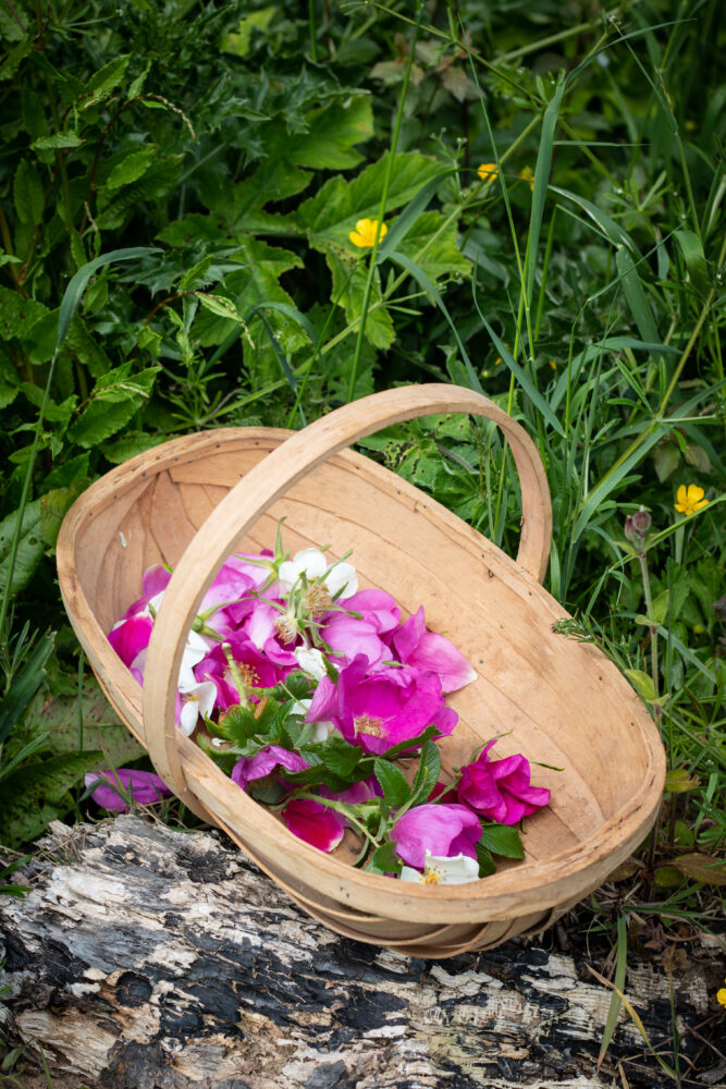 foraging wild roses