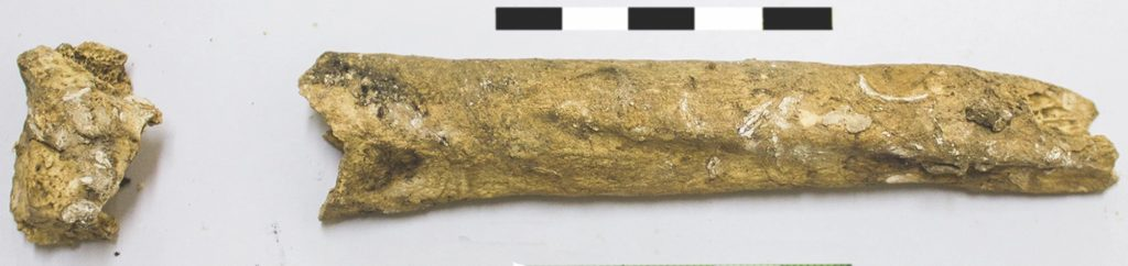 The left radius (arm bone) of the ancient woman. Notice the pronounced markings on the bone, which suggest she was muscular.