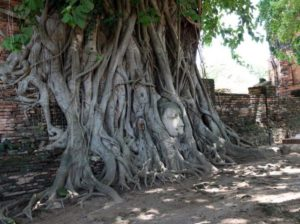 Buddha's head in tree Roots. the head was fell off the main body to the ground. It was gradually trapped in to the roots at Mahathat temple.