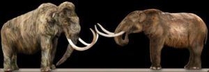Comparison of woolly mammoth (L) and American mastodon (R).