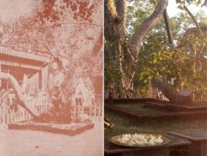 Sacred Bodhi before c.1913 and in recent past.