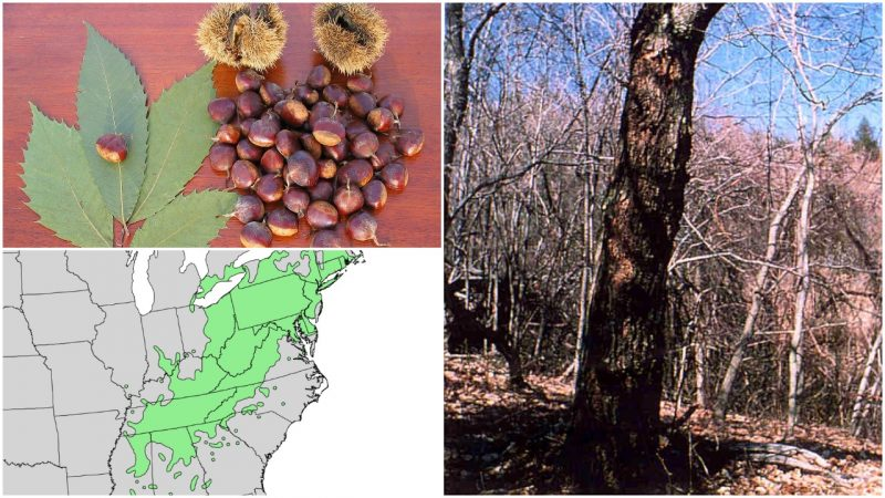 There used to be 4 billion American chestnut trees, but they all disappeared