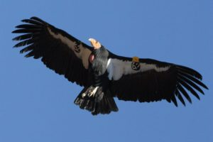 An adult California condor, Gymnogyps californianus, in flight. All California condors wear uniquely numbered wingtags with a GPS locator tag so each individual can be tracked from a distance. Zion National Park, Utah.