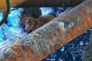 The dog was brought aboard the drilling platform using ropes by proactive rig workers.
