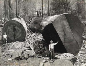 Lumberjacks seen working on the giant redwoods