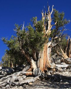Trees in the Methuselah Grove, home of the oldest tree in the world.