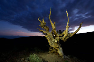 A bristlecone pine in eastern California similar to Methuselah.
