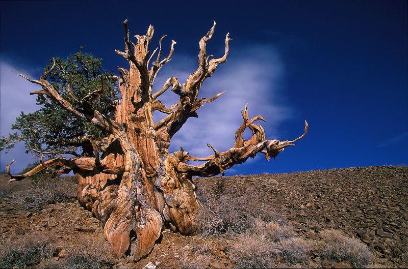 Meet California's Methuselah Tree, The Oldest Tree In The World