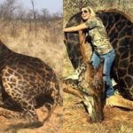 Trophy hunter Tess Talley hugs the body of the dead black giraffe she killed and thanks the Lord during a hunt in South Africa.
