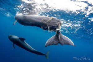 A baby pilot whale shrieks in pain after its tail was almost cut off completely by a boat propeller.