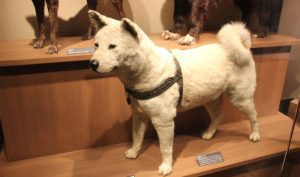 Hachiko exhibited at the National Museum of Nature and Science in Ueno.