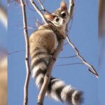 People Are Loving These Adorable Ringtail Cats That Are Native To North America