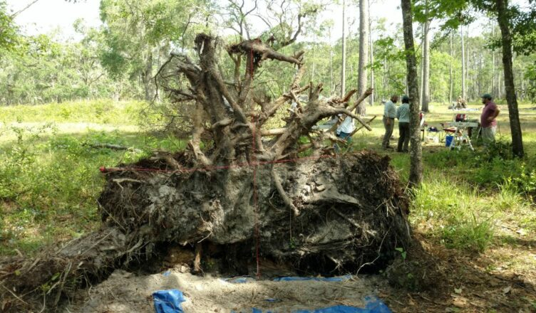 Toppled Trees in Florida Reveal 19th-Century Fort
