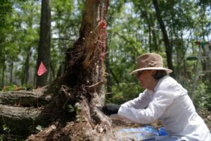 Volunteer Marilyn Spores digs for artifacts in the roots of a fallen tree as the U.S. Forest Service studies the land where the Negro Fort stood at Prospect Bluff in the Apalachicola National Forest
