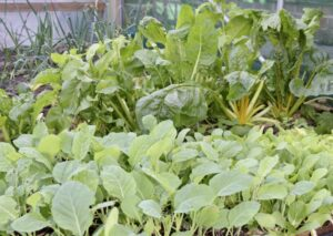 Home grown vegetables