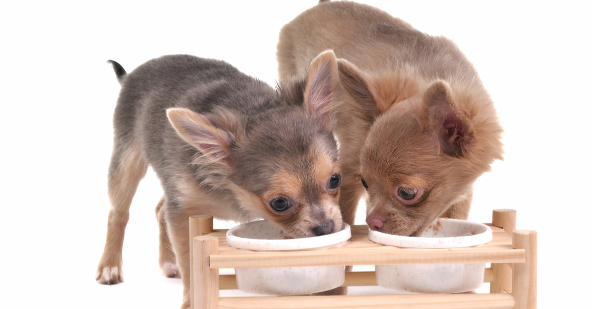 Help! What's the Best Dog Food for My Chihuahua?