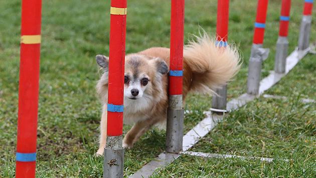 Can Chihuahuas do Dog Agility?
