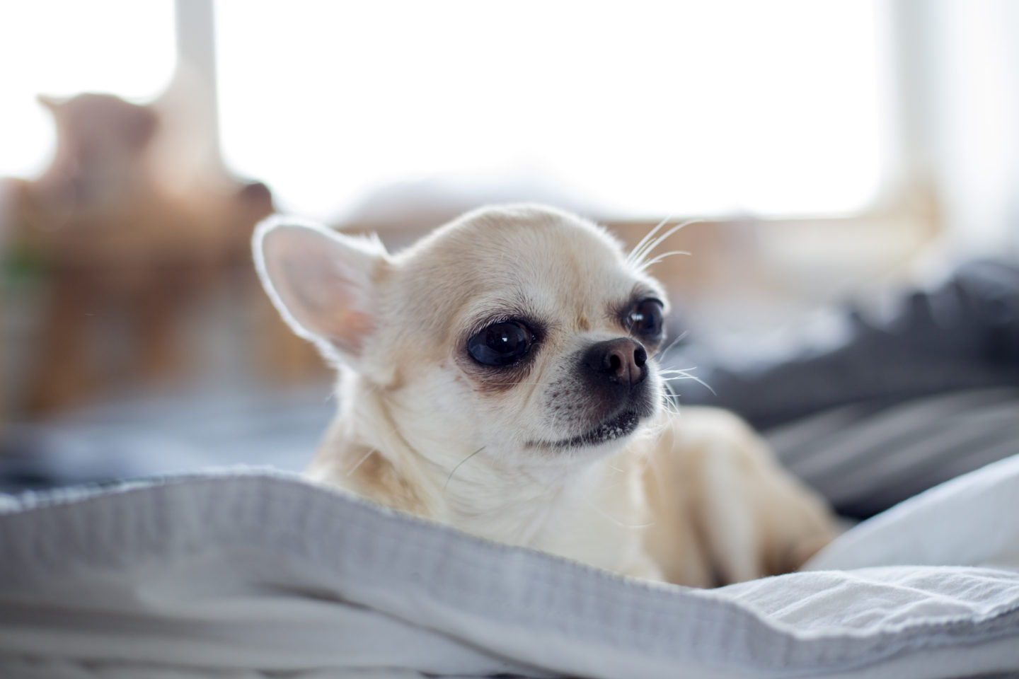 Senior chihuahua health: Illnesses to watch for