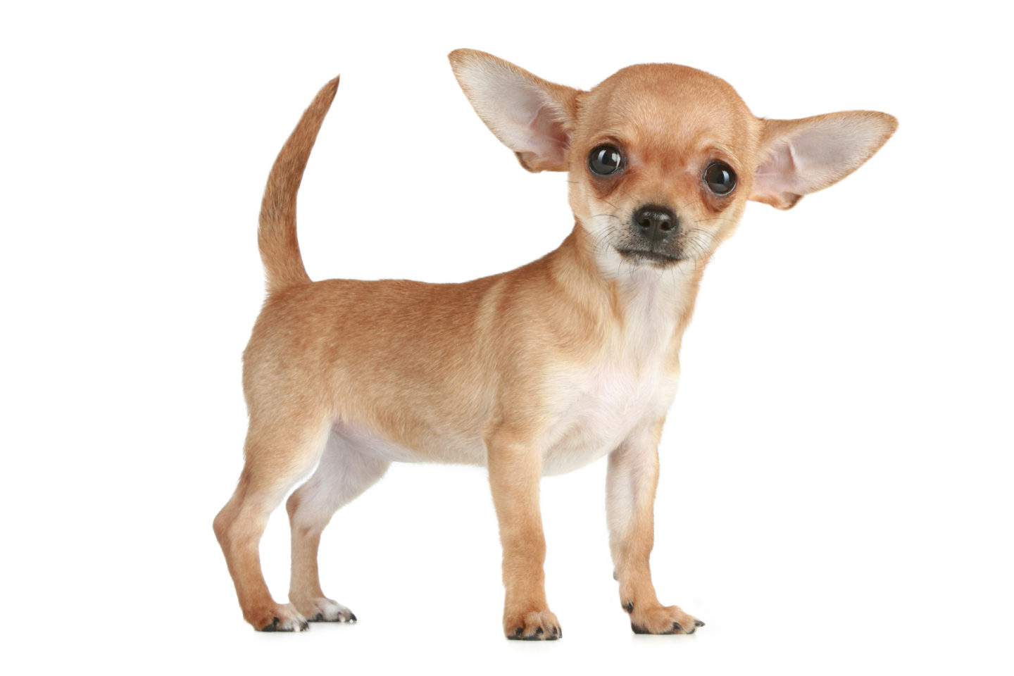 All The Better Hear You With: Chihuahua Ear Health