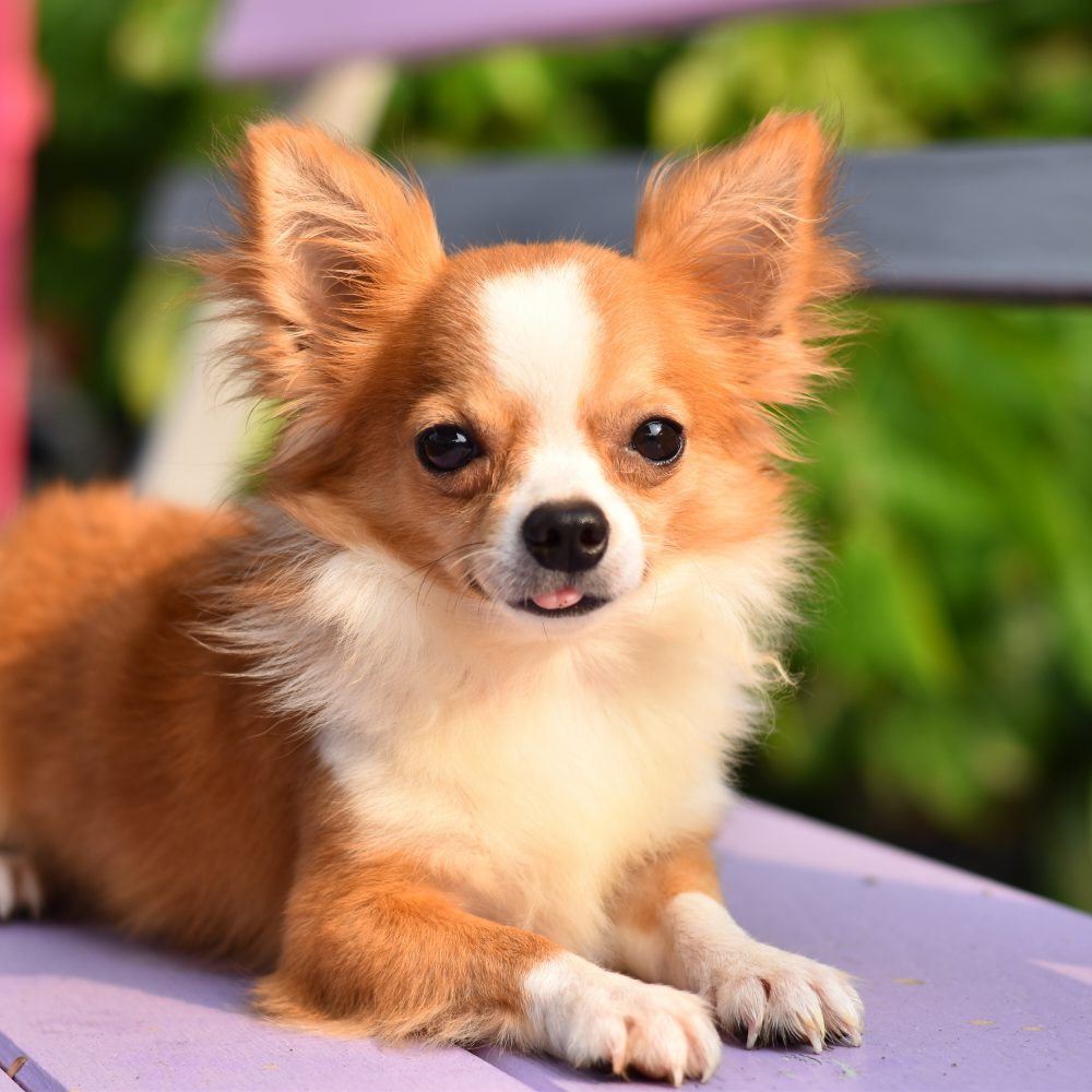 Does your Chihuahua Have Celebrity Syndrome? Guest Post by Nigel Reed