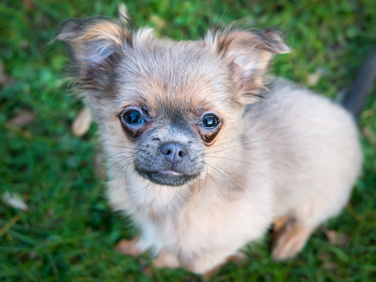What are chihuahua puppy uglies?
