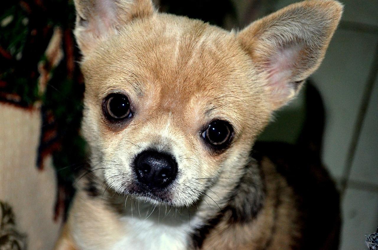 How to Adopt a Chihuahua