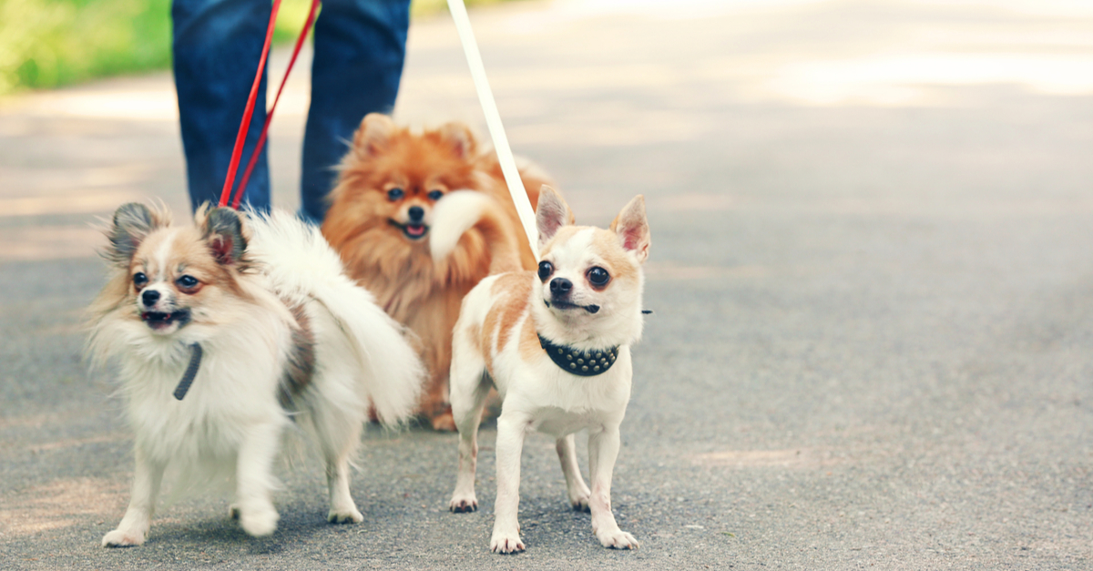 More Than One Chihuahua? Do you Have Multiple Chihuahua Syndrome?