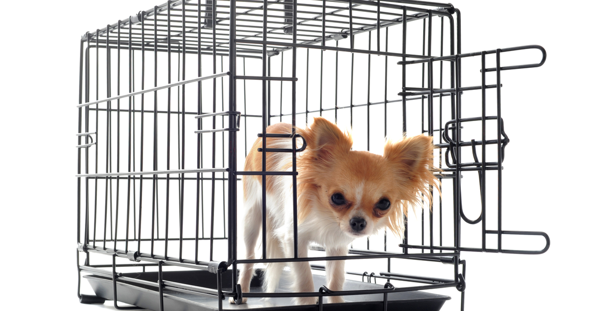 The crate debate: Should you crate your chihuahua?
