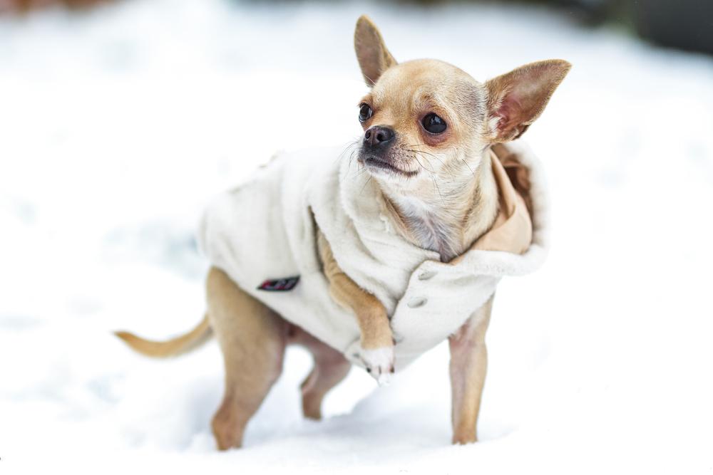 Winter Ready Chihuahua.