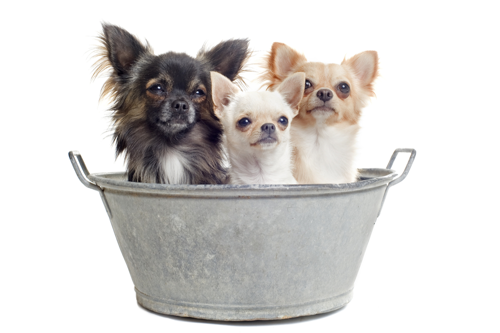 How often should you bath your chihuahua?