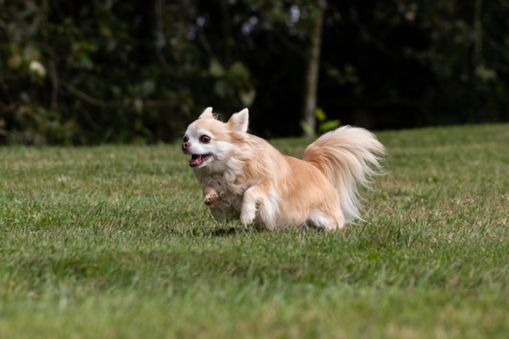 Should I let my chihuahua offlead? The pros & cons of being off-leash