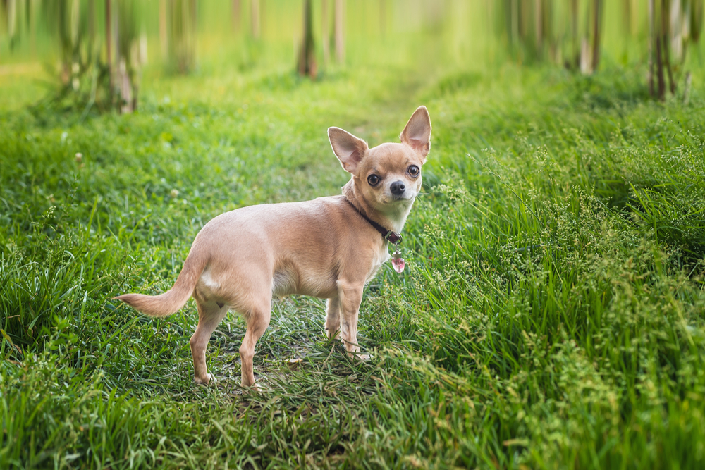 How to give CPR (rescue breaths) to your chihuahua
