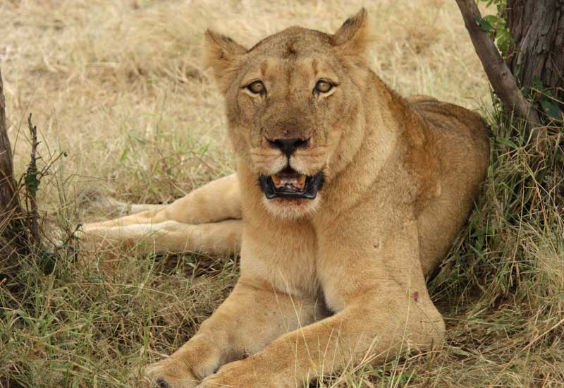 Ashtanga_Yoga_Dubai-Zambia_lion
