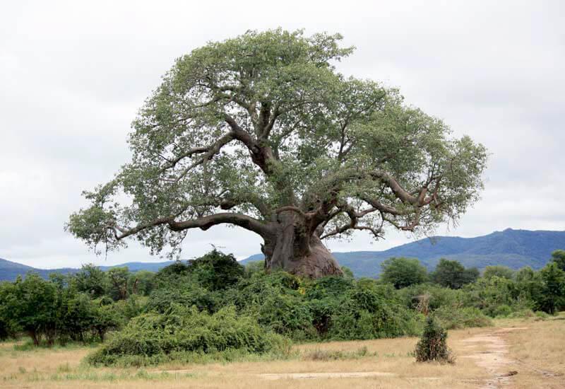 Ashtanga_Yoga_Dubai-Zambia_tree