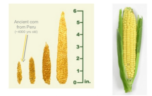Corn Evolution