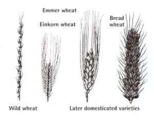 Wheat Evolution