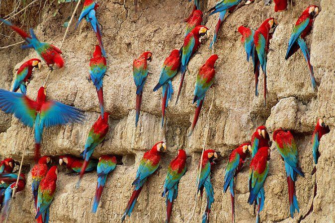 Peru Parrot Salt Licking