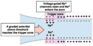 Sodium Ion Signalling