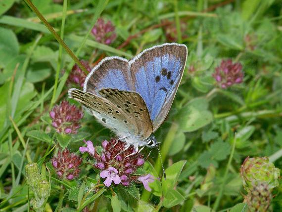 Dia 1 Large Blue in his complex habitat