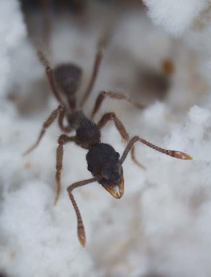 Dia 3 Ant fungus