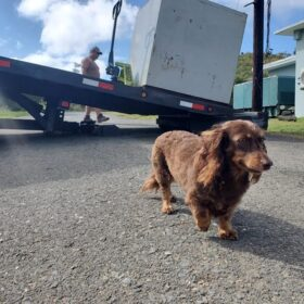 Chupi the Rum Dog overseeing the delivery of molasses at Crab Island Rum distillery.