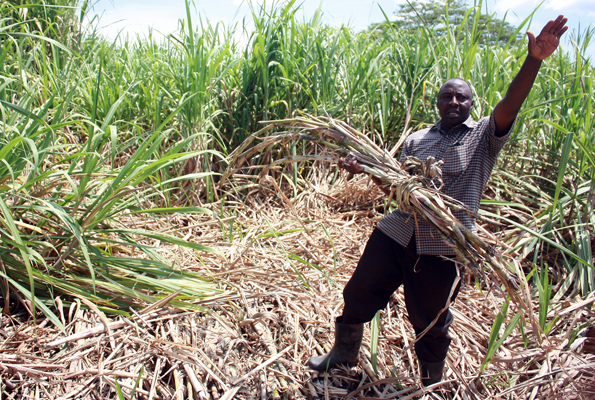 Sugarcanes out growers insist on exporting their canes to Kenya
