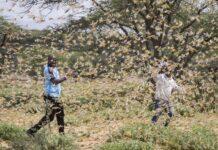 Government warns of locust invasion in Uganda