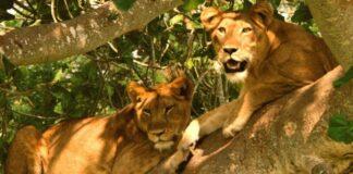 Killing of Lions Arrested Queen Elizabeth National Park