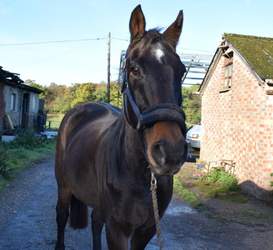 shiny-veteran-horse