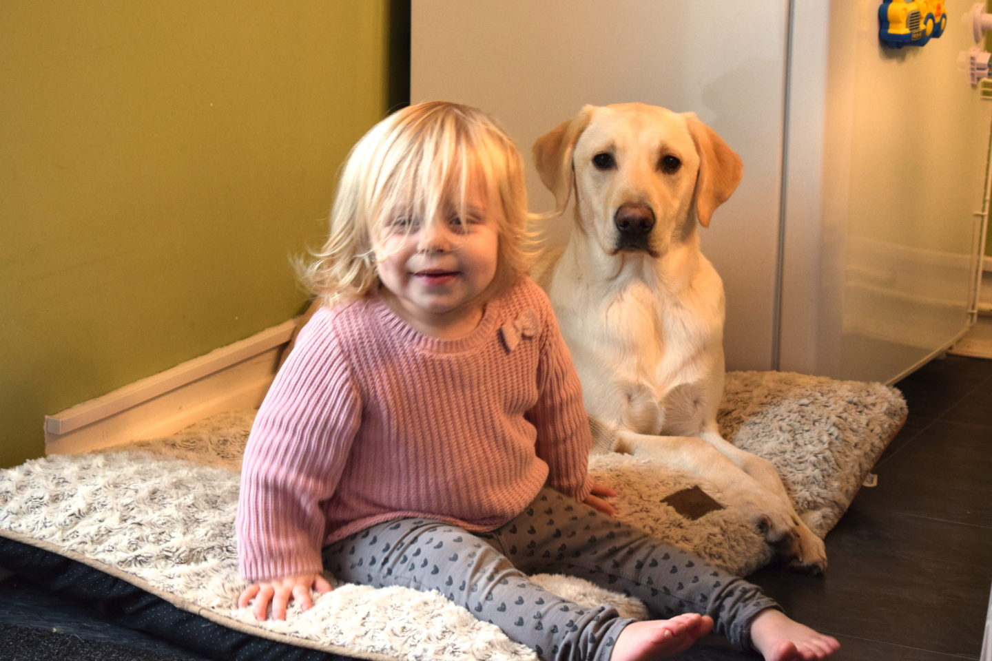 22 months old girl sitting in a dog bed with a yellow labrador